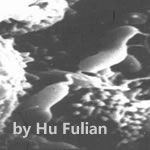 NFZY-幽门螺杆菌的黏附作用
